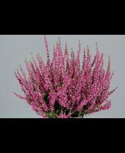Calluna vulgaris p12