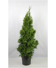 Timanttituija Smaragd 100-120cm juurrutettu