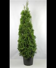 Timanttituija 'Smaragd' 150-175cm juurrutettu