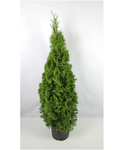 Timanttituija 'Smaragd' 120-140cm juurrutettu