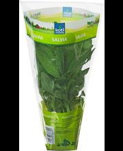 Salvia ruukussa