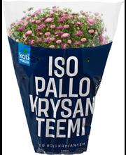 Km Pallokrysanteemi P19
