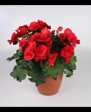 Patio begonia 22 cm