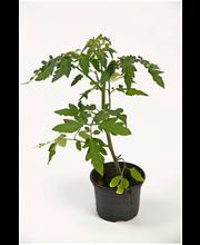 Tomaatintaimi erikoislaji