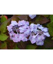 Jalohortensia Twist -n- Shout® At 3L