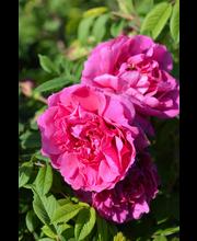 Pohjolan kuningatar ruusu