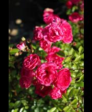 Ruusu little mischief