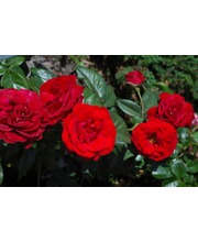 Ruusu europeana epat 3l