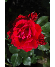 Ruusu nina weibull epat