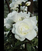 Ruusu schneewittch. epat