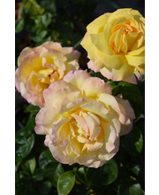 Ruusu peace epat