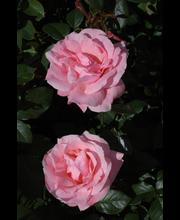 Ruusu queen elisabeth