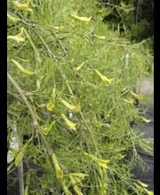 Walkerinhernepuu runko