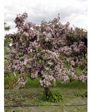 Purppuraomenapuu hopa