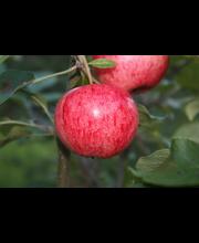 Omenapuu 'Huvitus'