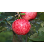 Omenapuu huvitus i-iv