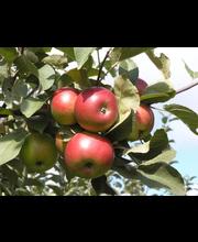 Omenapuu jaspi i-iii