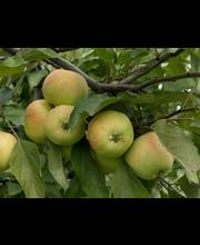 Puutarha Tahvoset omenapuu 'Keltakaneli' astiataimi 7,5l ruukussa