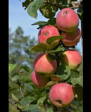 Omena gita syysomena