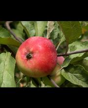 Omenapuu punakaneli i-v