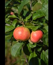 Omena sariola i lk