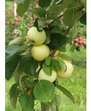 Omenapuu 'Valkeakuulas'