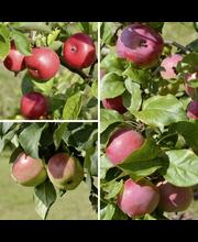 Omena perheomenapuu