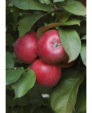 Puutarha Tahvoset omenapuu 'Sandra' astiataimi 7,5l ruukussa