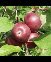 Omena pekka kääpiöivä
