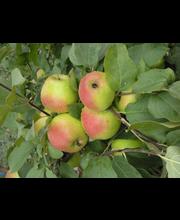 Omena vuokko kääpiöivä