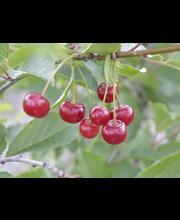Kirsikka sikkolankirs.-iv
