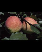Omena jättimelba kääpiö