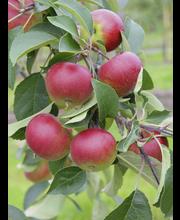Omena petteri kääpiö