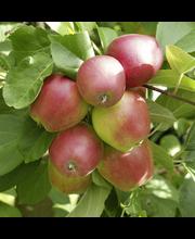 Omena tobias talviomena