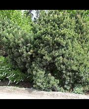 P-Plant kääpiövuorimänty 20-25cm astiataimi 19cm ruukussa