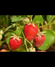 Puutarha Tahvoset mansikka 'Korona' taimi 10kpl