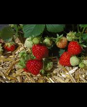 Puutarha Tahvoset mansikka 'Jonsok' taimi 10kpl