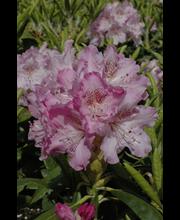 Puutarha Tahvoset alppiruusu 'Mikkeli' astiataimi 4l ruukussa