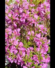 Puutarha Tahvoset kevätatsalea, FinE, astiataimi 3l ruukussa