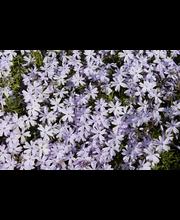 Sammalleimu vaal.lila