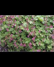 Satakunnan Taimitukku tuoksukurjenpolvi 'Bevan's Variety' Geranium macrorrhizum