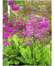 Satakunnan Taimitukku himalajanesikko 'Gigas' Primula rosea
