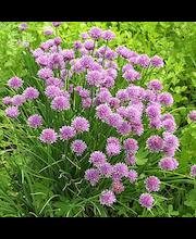 Satakunnan Taimitukku ruohosipuli Allium schoenoprasum