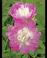 Satakunnan Taimitukku kiinanpioni 'Santa Fe' Paeonia lactiflora
