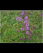 Satakunnan Taimitukku kangasajuruoho 'Magic Carpet' Thymus serpyllum