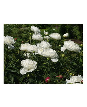Satakunnan Taimitukku kiinanpioni 'Duchesse de Nemours' Paeonia lactiflora