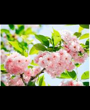 Idealdecor valokuvatapetti Sakura Blossom 00133, 8-osainen, 366 x 254 cm