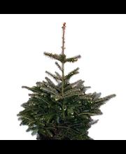 P-Plant koreanpihta 30-40cm astiataimi 19cm ruukussa