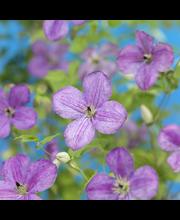 Patiokärhö lavender flow.