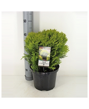 P-Plant kultapallotuija 'Mirjam' 20-25cm astiataimi 19cm ruukussa